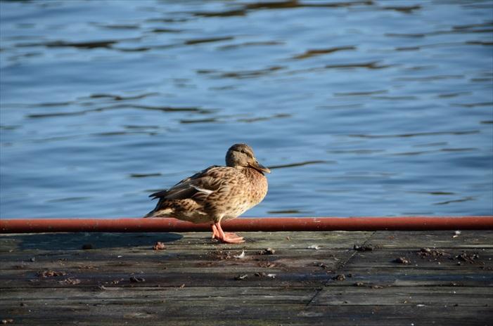 野鸭正在阿寒湖畔休息。