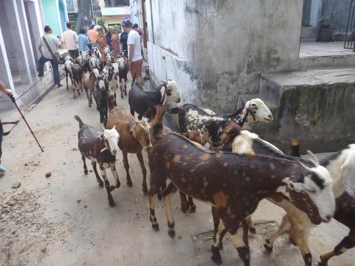 无论走在哪条街上,都有一群或被分散的羊群出没。