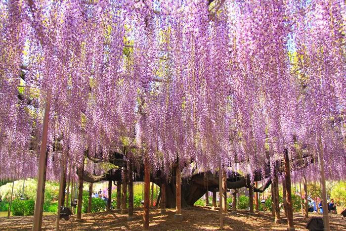 旅人可透过不同的管道得悉最新的旅游趋势。图为旅者间咨询度极高的紫藤花景观。
