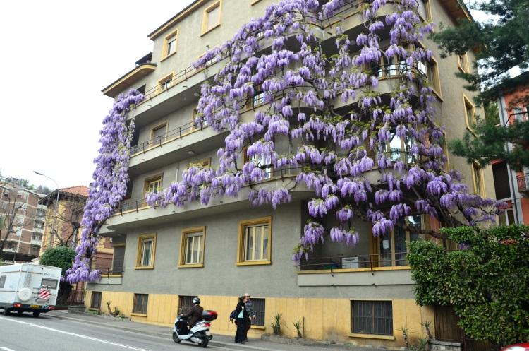 爬上公寓的紫藤花,宣布春天的痕迹。