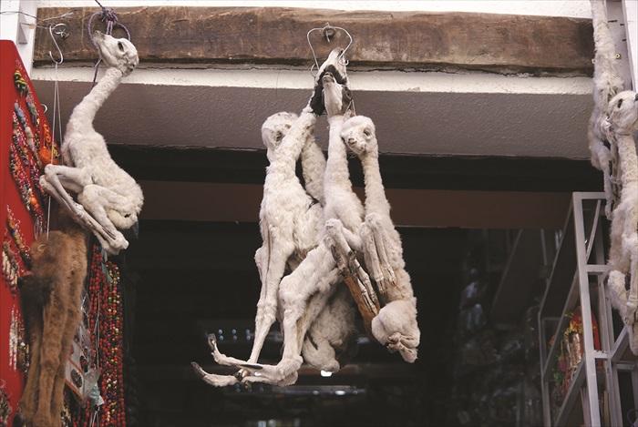 据说草泥马的干尸有趋吉避凶的功效。