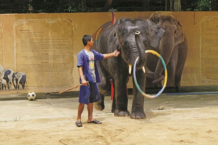 大象表演转呼拉圈。