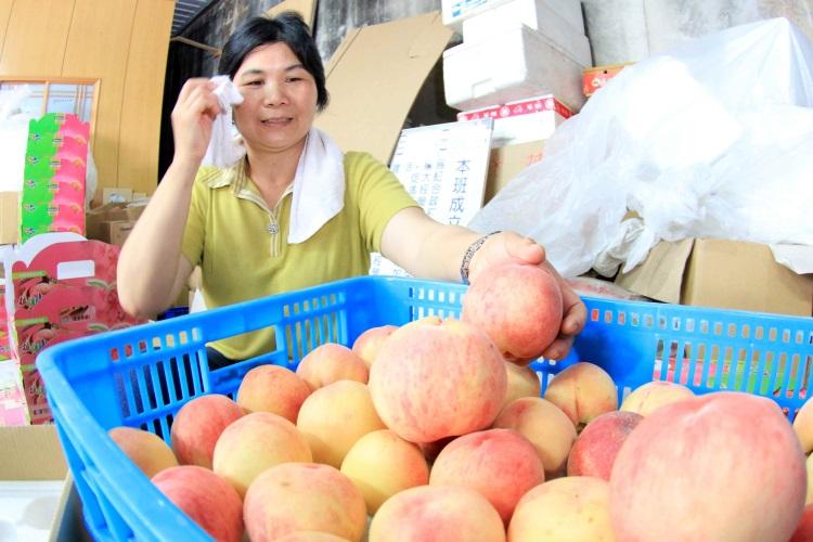 每年夏季是拉拉山水蜜桃收成时节。