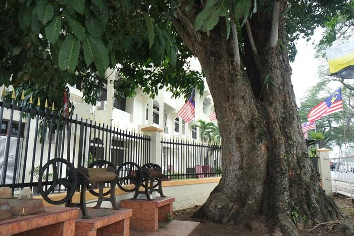 最古老的橡胶树,树旁放置旧式器具制作树胶片。