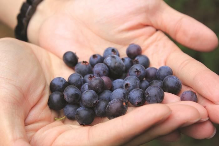 雪霸休闲农场生产蓝莓,不含农药可现摘现食。