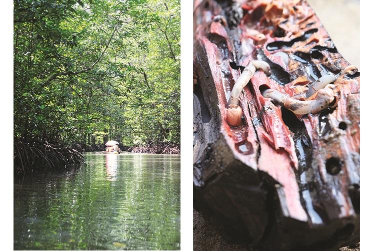 茂密的红树林(左),还有红树林虫(右)。