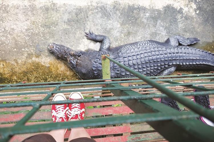 呵呵,鳄鱼就在我脚下。