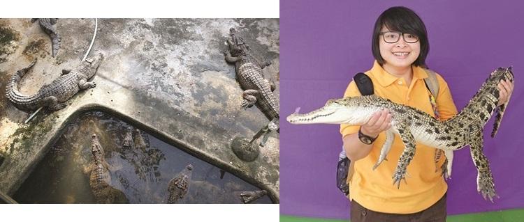 很多鳄鱼啊!而且很肥大。(左) 与小鳄鱼的合照,有点怕。(右)