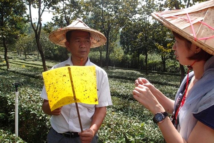 """采用天然的""""捕虫剂"""",除了能确保茶叶没有农药成分,也提倡环绿色环保。"""