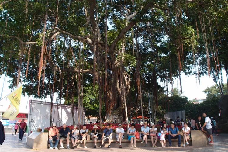 """百年壮观的榕树,就像一把巨大的""""绿伞,给予人们乘凉休息的好地方。"""