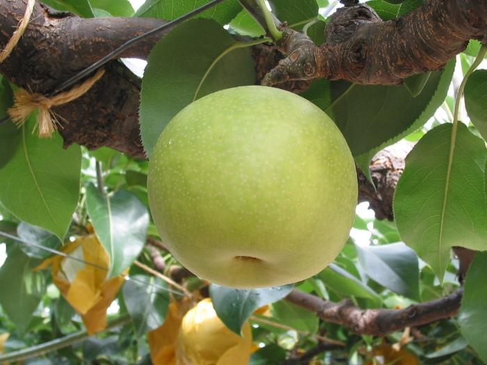 """鸟取县梨的产量有八成是二十世纪梨,该县也因此梨而闻名,所以,常被直呼""""鸟取二十世纪梨""""。"""