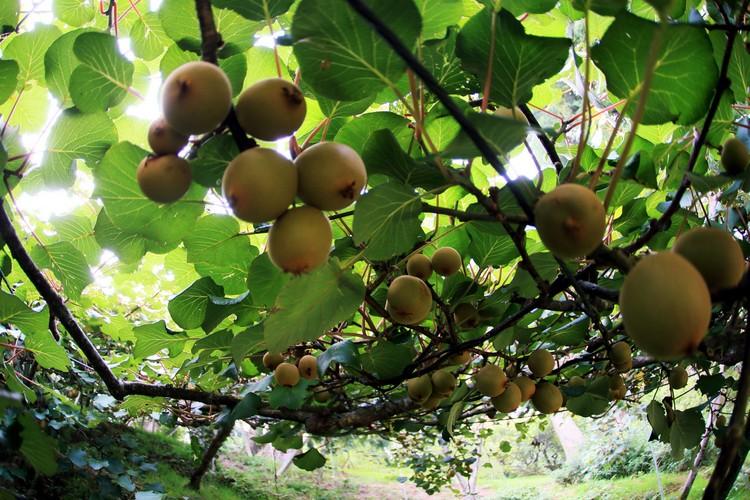 挂在树上的当季水果让住客们採摘尝鲜﹐享用丰盛的水果大餐。