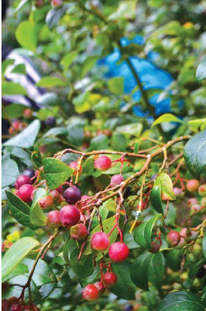 还没有成熟的蓝莓是红色的哟!
