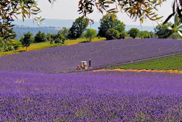 瓦朗索尔小镇上人口只有数千人,却耕作出普罗旺斯中面积最大的薰衣草花田!