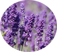 lavender (g)
