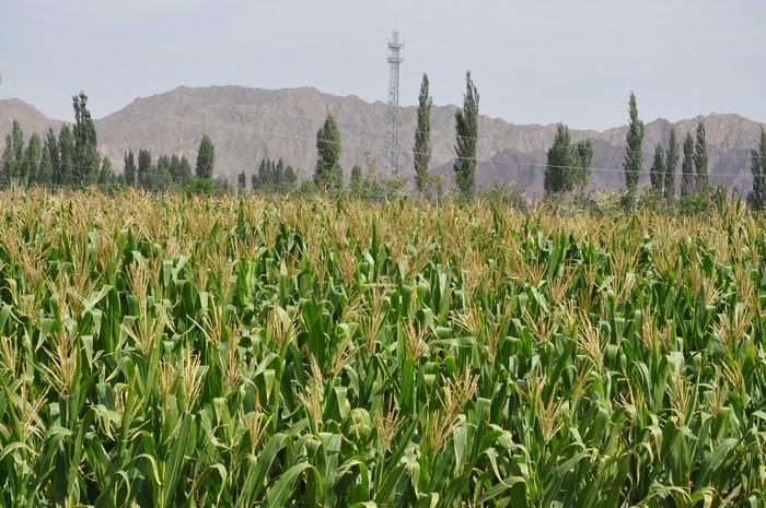 眼前还是一片绿油油的玉米田。