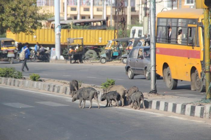 常可以看到家畜在路上游走。