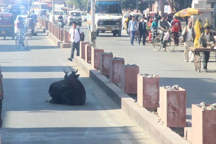 作为印度圣兽,牛更是随处可见。