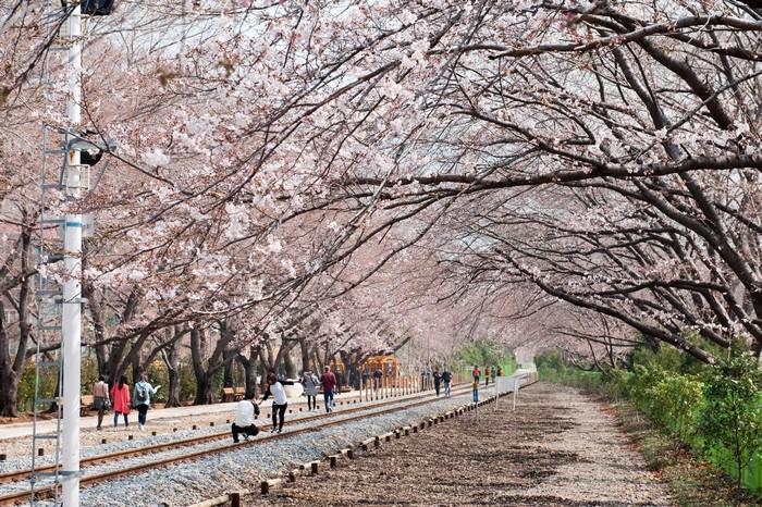 韩国赏樱热点不少,其中镇海樱花祭是韩国最有名、最灿烂、最热闹的赏樱重镇。