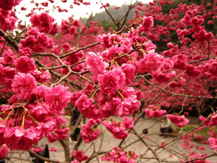 九族文化村是台湾其中一个热门赏樱地。