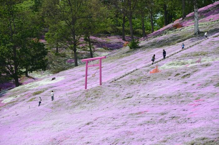 有的芝樱花园还特制了超梦幻的粉色鸟居,超适合拍照留念!