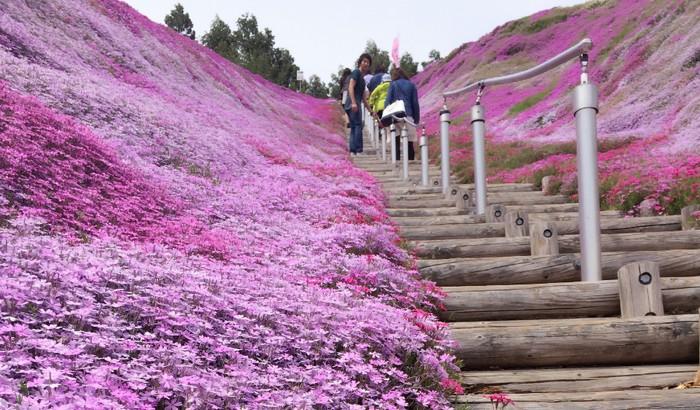游客可以逐步欣赏芝樱之美。
