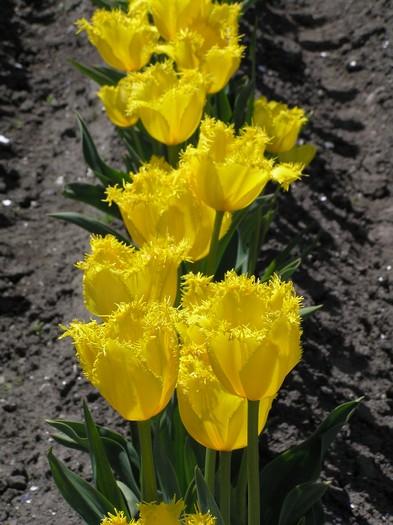 这里每年都会栽种120种、120万株郁金香。