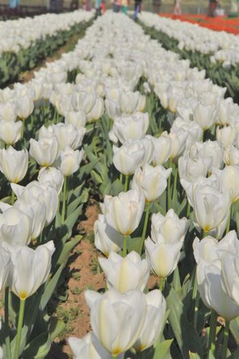 纯白色一样脱俗美丽。