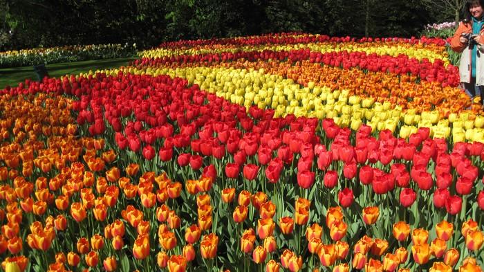美丽的郁金香让许多国内外游客慕名而来。