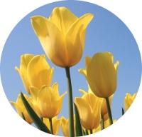 tulip (g)