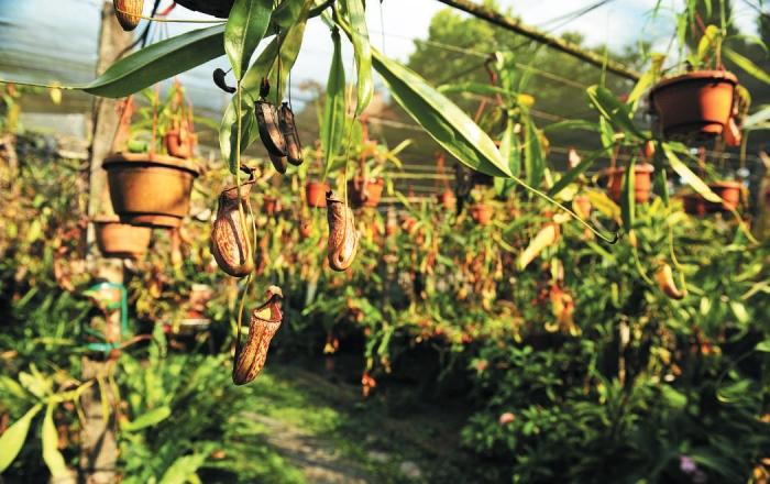 波的农场主角——猪笼草。