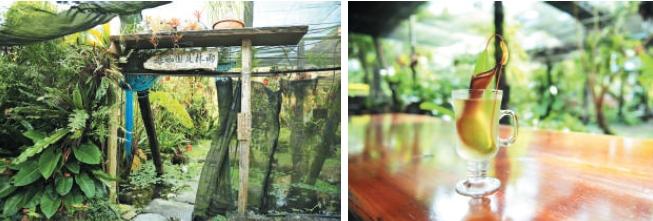"""农场入口,""""雨林庭院咖啡""""是主人经营的咖啡店。(左) 停下脚步,尝一杯这里独有的猪笼草茶冻。(左)"""