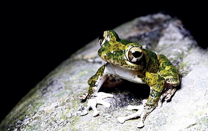 三富休闲农场 这只青蛙叫做褐树蛙。