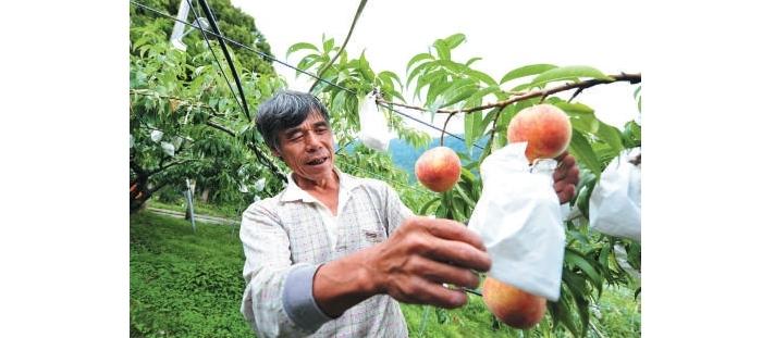 粉红诱人的水蜜桃,是园主林大哥辛勤栽种的成果。