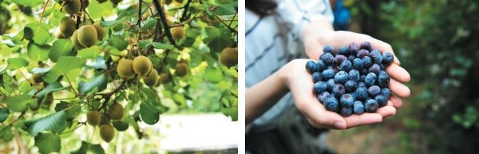 (左)雪霸休闲农场的三宝 之一——奇异果。 (右)蓝莓是三宝之一的另一 宝,这里也是全台湾唯一产蓝莓的地方。