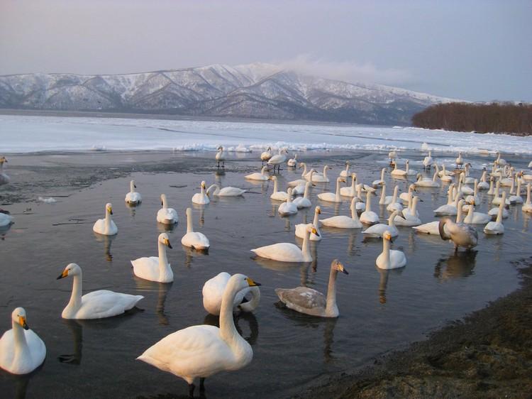 屈斜路湖,由于特别之处在于湖岸涌出的温泉,天寒地冻都不会出现结冰的湖岸引来许多天鹅栖息在此。