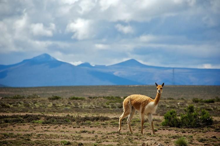 前往安第斯山区的途中所遇上的野生羊驼。