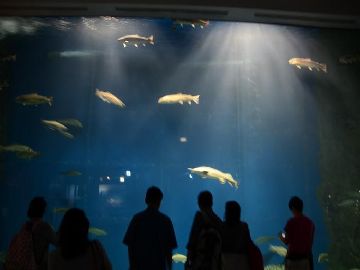 馆内也饲养了鲟鱼等其他河川鱼类。