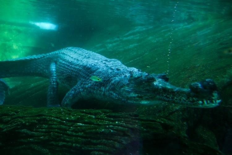 食鱼鳄因行动不佳而长期呆在水里,而它的一大特色便是长吻。