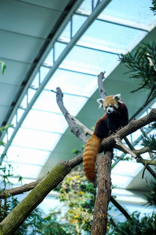 披着一身栗色的毛,面部又貌似狐狸的小熊猫,也被称为火狐。