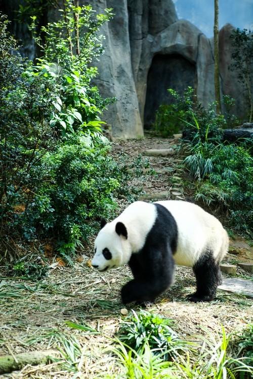 来到新加坡河川生态园,绝对不可不前往东南亚最大的熊猫栖息地——苍翠茂盛的大熊猫竹林,探望来自中国的亲善大使。