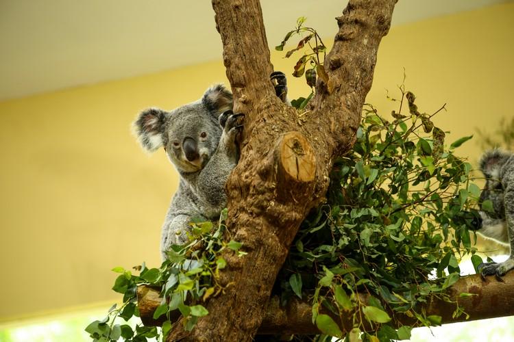 树袋熊在树上慵懒的休息,逗趣的模样真可爱!