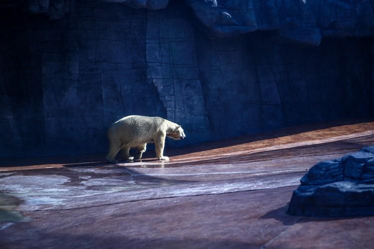 北极熊在巨大冰块的大型泳池,消暑解热。