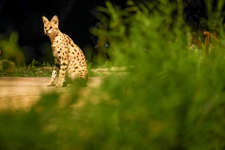 首次经历「大场面」的非洲薮猫,看見庞大的观众時,一切都感到很新奇。