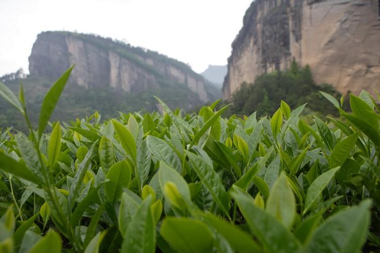 武夷山以武夷岩茶闻名。