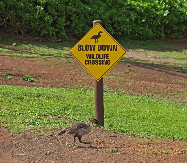 图中的不是鸭子,是夏威夷独有的雁,也是夏威夷的州鸟——夏威夷雁。