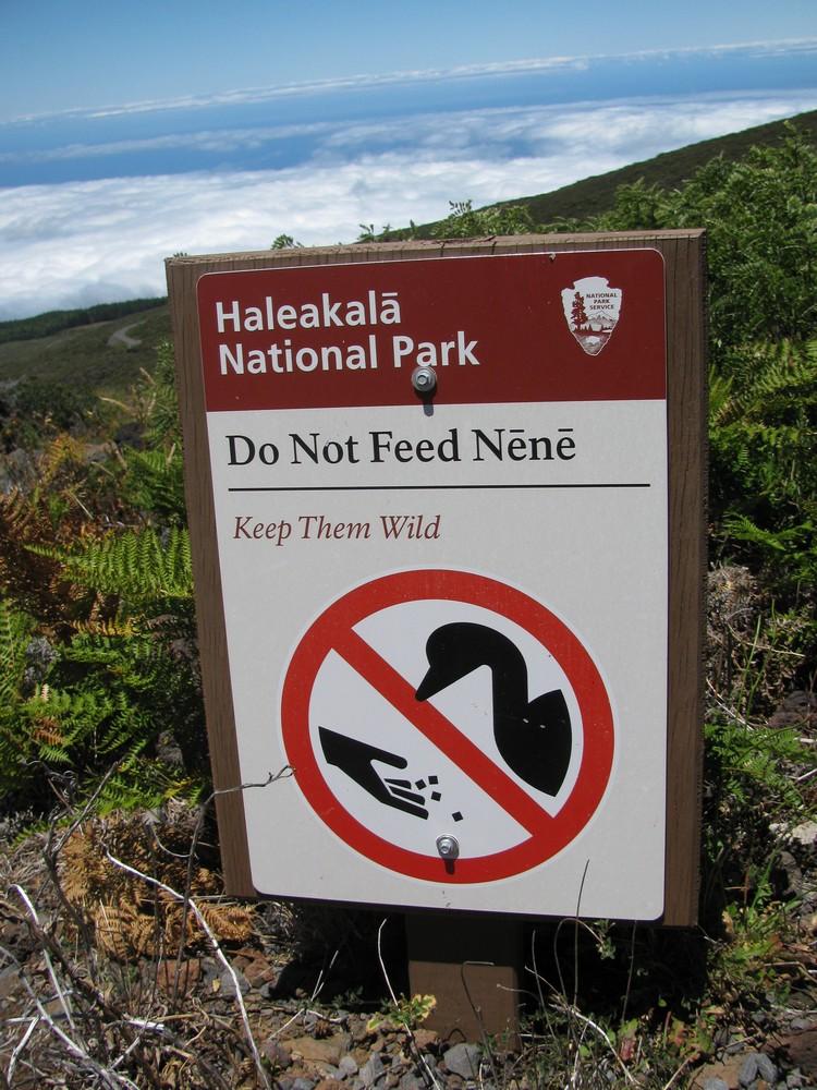 Nene是种只存活在夏威夷的雁,叫做夏威夷雁。见到它的话记得别喂食,打扰他们的野生生活哦!