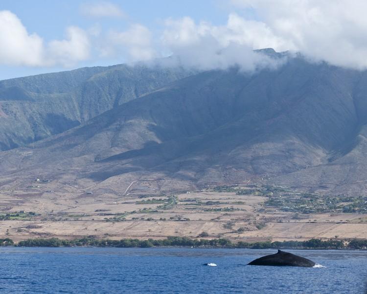 拉海纳当年是夏威夷捕鲸中心,如今不再捕鲸,摇身一变,变成赏鲸中心。
