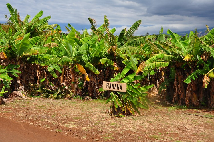 园内栽种多种热带作物。