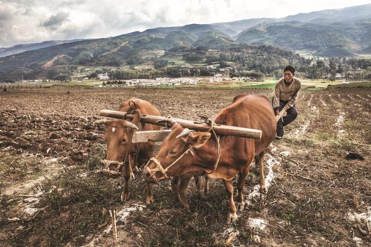 当世界各地已在大规模地应用拖拉机耕地时,村民依然用最原始的方式干活——靠牛犁地。